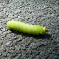 Caterpillar in Central Park, NYC