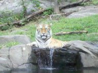 Tiger Sanctuary, Bronx Zoo NYC