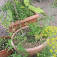 Dill, Butterfly Bush and Sunflowers