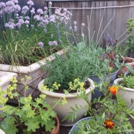 Herb Garden in Bloom