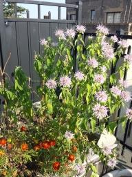 Bergamot (Bee Balm) in Bloom